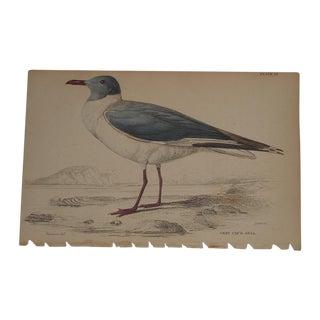 Antique Hand Colored Shore Bird Engraving