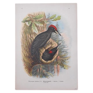 Antique Bird Lithograph - Woodpeckers
