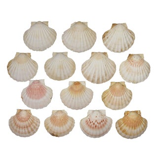 Natural French Scallop Shells - Set of 14