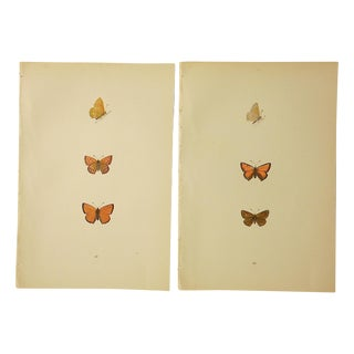 Antique Butterfly Lithographs - A Pair