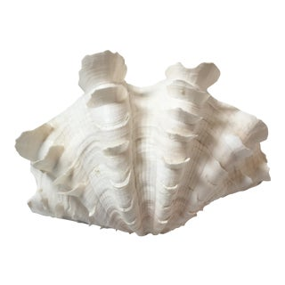 Hippopus Giant Clam Shell