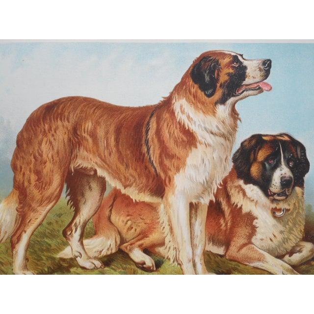 Image of Antique Dog Lithograph - St. Bernards