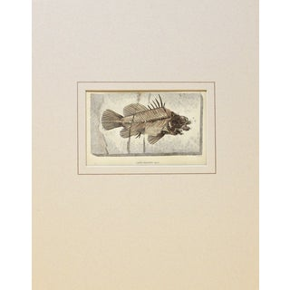 Antique Fossilized Fish Print