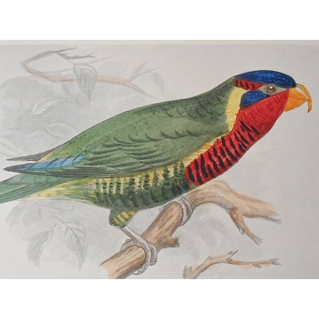 Image of Antique 19th Century Parakeet Lithograph