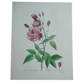 Reproduction Pink Rose Botanical Print