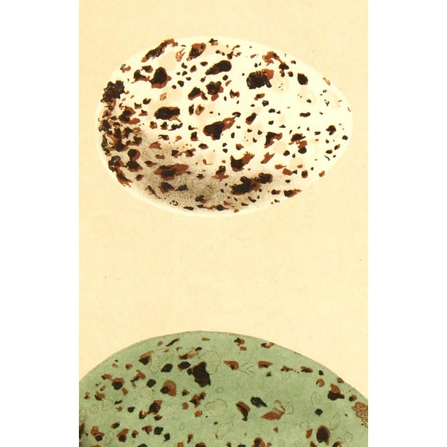 Image of Antique Lithograph - Speckled Eggs, 1859