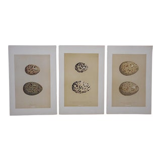 Antique Egg Lithographs-Set of 3-Gull Eggs