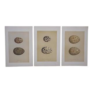 Antique Egg Lithographs-Set of 3-Gull Eggs