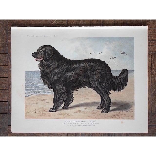 Antique Dog Lithograph - Newfoundland - Image 2 of 5