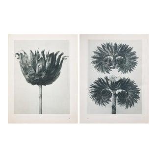 Blossfeldt 2-Sided Photogravure N75-76