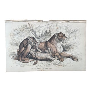 19th Century Jardine Lion Female and Cubs Engraving