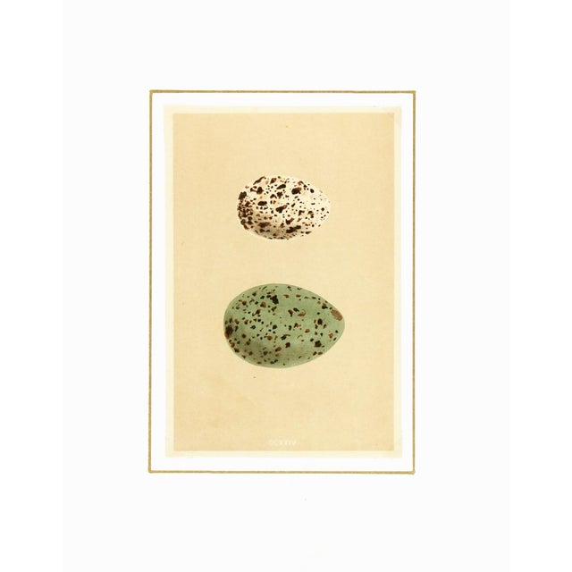 Antique Lithograph - Speckled Eggs, 1859 - Image 3 of 3