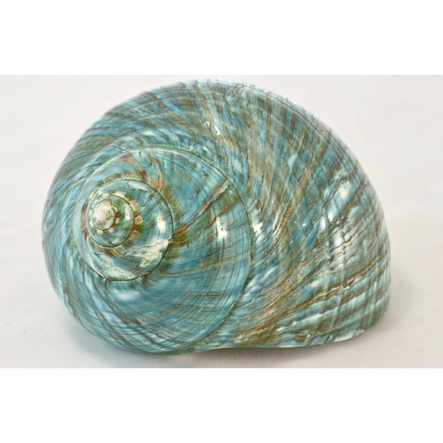 Turquoise Turbo Sea Shell - Image 3 of 5