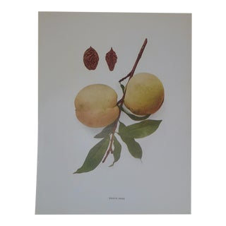Early 1900s Peaches Lithograph Heath Free Peach