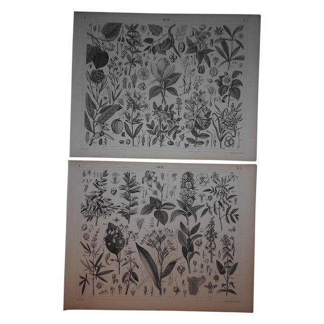 Image of Antique Botanical Engravings - a Pair