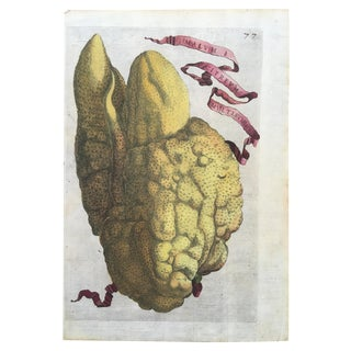 Antique Ferrari Botanical Citrus Fruit Print