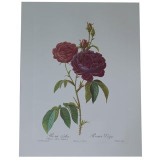 Botanical Print of a Red Rose After Redoute
