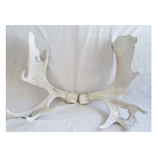 Image of Large Naturally-Shed Moose Antlers - A Pair