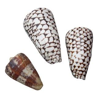 Natural Cone Seashells - Set of 3