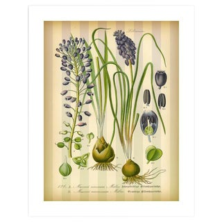 Antique 'Grape Hyacinth' Archival Print