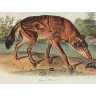 Audubon's Red Texan Wolf Lithograph