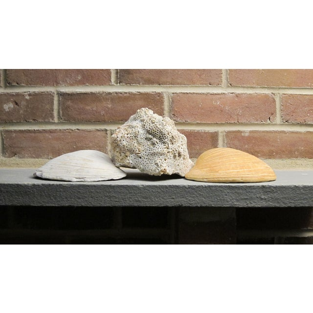 Image of Large Natural Conch and Clam Seashells - Set of 3