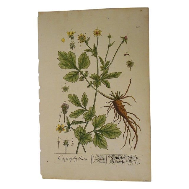 Antique 18th C. E. Blackwell Botanical Engraving - Image 1 of 4