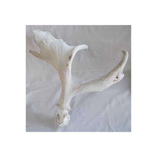 Large Naturally-Shed Moose Antlers - A Pair - Image 3 of 8