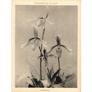 1904 Vintage Botanical Orchid Art Photograph