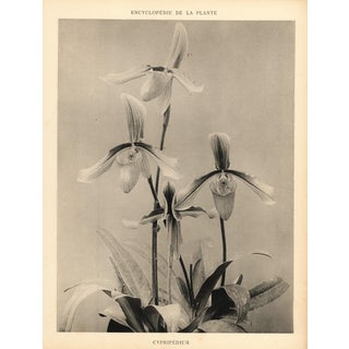 1904 Vintage Botanical Orchid Art Photograph