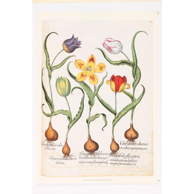 Image of Tulip Botanical, Basilius Besler Print