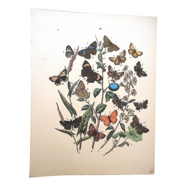 Antique Butterflies/Moths Lithograph Print - Image 1 of 4