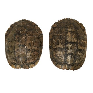 Natural Turtle Shells - A Pair