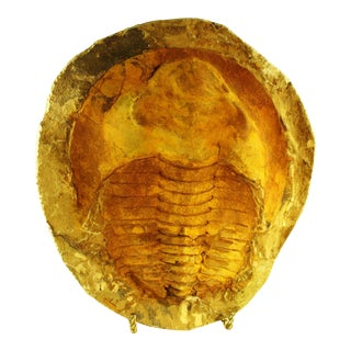 Fossil Trilobite From Morocco