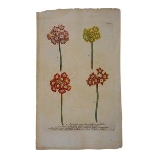 Circa 1740 Johann Weinmann Botanical Mezzotint Print