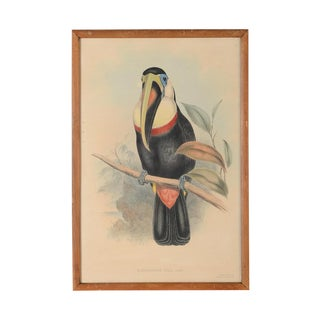 "John Gould ""Ramphatos Inca-Toucan"" Bird Litho."