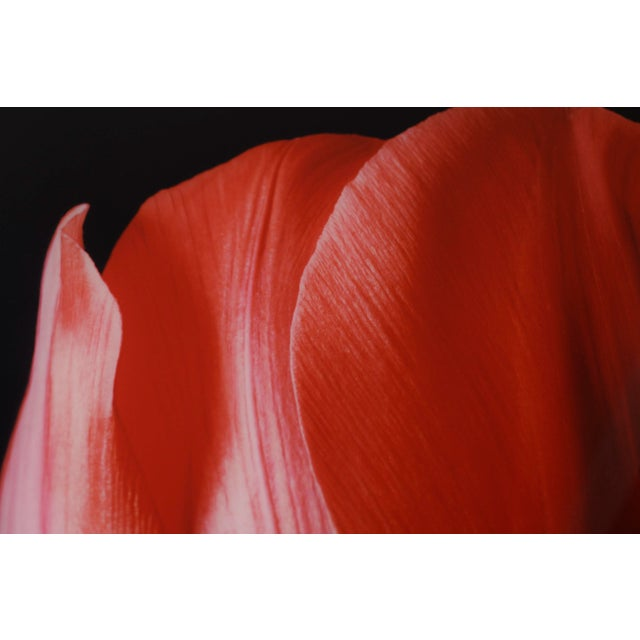 """""""Red Tulip on Black"""" Photograph - Image 6 of 6"""