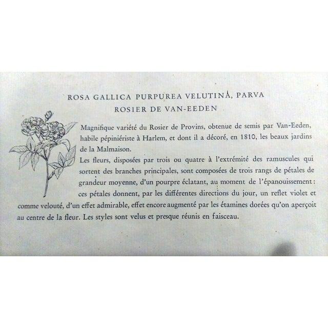 Original Pierre Redouté Botanical Prints - S/3 - Image 8 of 8