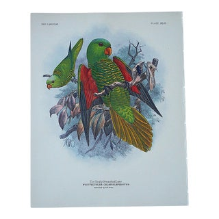 Antique Parrot Lithograph-Hand Colored-The Scaly Breastd Lori-3/4 Size