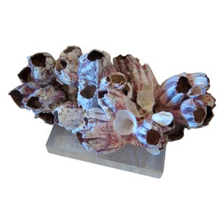 Barnacles Cluster on Lucite Base