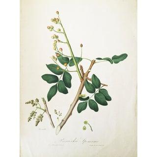 1831 Italian Pistachio Botanical Print by Giuseppe