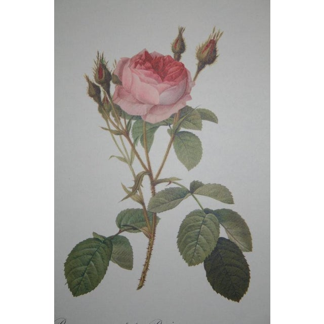 Original Pierre Redouté Botanical Prints - S/3 - Image 6 of 8
