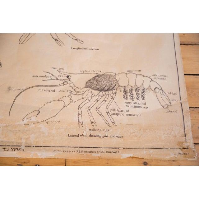 Image of Early 20th Century Pull Down Chart of Lobster