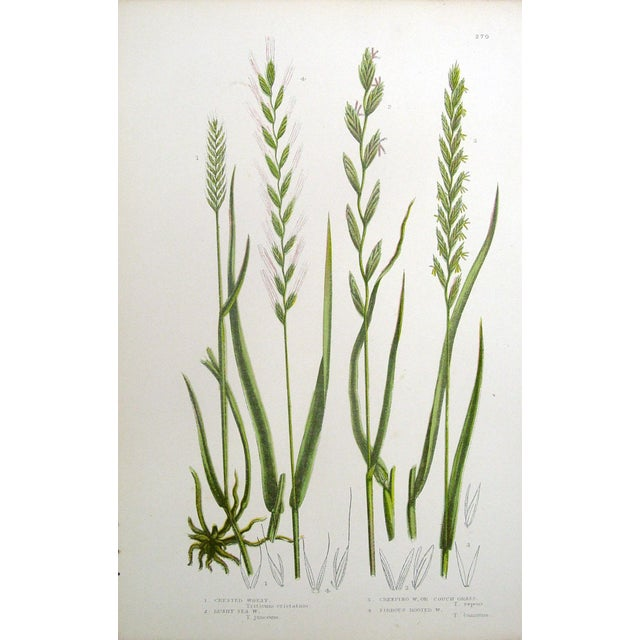 Antique Botanical Grasses Lithograph - A Pair - Image 4 of 4
