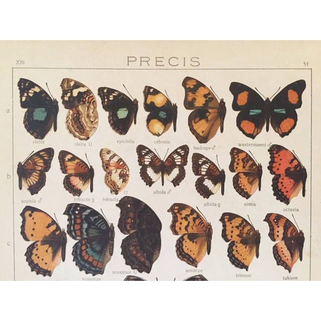 1910 Butterfly Specimen Lithograph - Image 4 of 4
