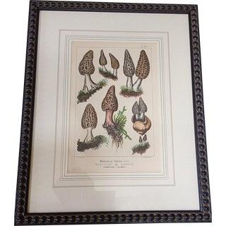 Botanical Lithograph of Moral Mushrooms