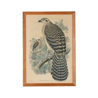 "John Gould ""Erythrotriorchis Dorlae"" Bird Lithograph"