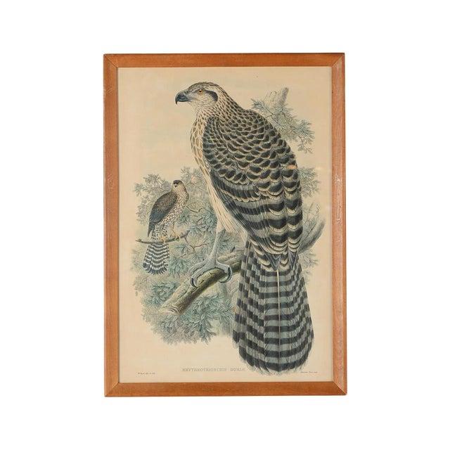 "John Gould ""Erythrotriorchis Dorlae"" Bird Lithograph - Image 1 of 7"