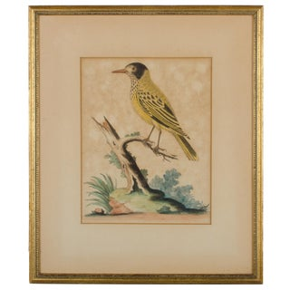 """C.1750 George Edwards """"Yellow Starling"""" Engraving"""
