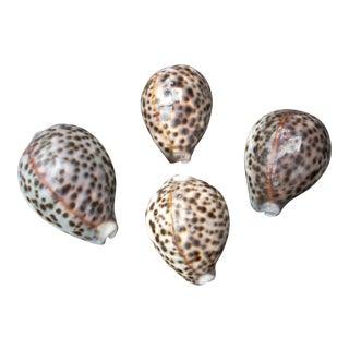 Filipino Natural Cowrie Seashells - Set of 4